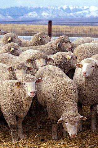 316px-Flock_of_sheep