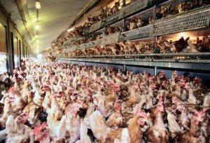 Free-range-hens
