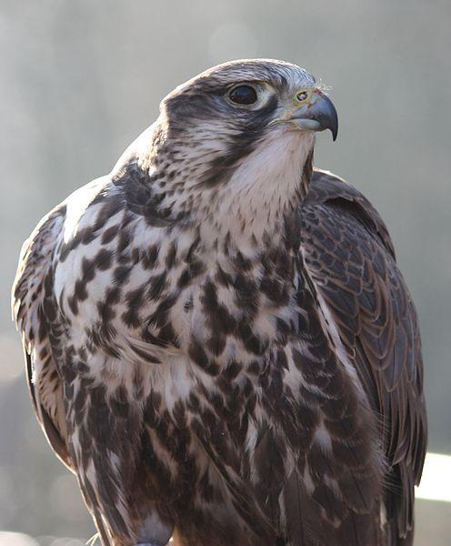 https://upload.wikimedia.org/wikipedia/commons/thumb/f/fb/Saker_falcon_1.jpg/496px-Saker_falcon_1.jpg