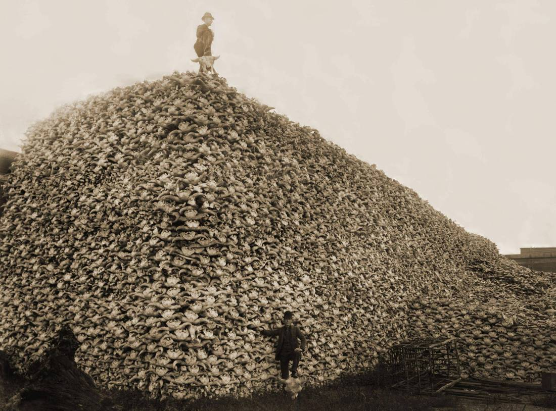 Slaughter of American Bison Photograph