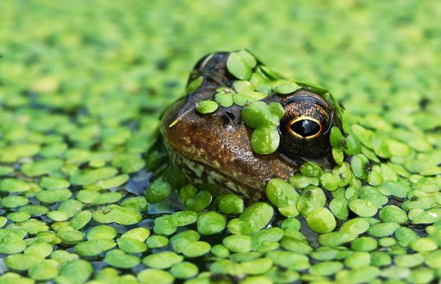 A frog struggles to the surface for a gulp of air in a mill pond swamped by duckweed at Fiddleford Mill, near Sturminster Newton, Dorset