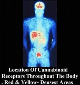 Cannabinoid+receptors
