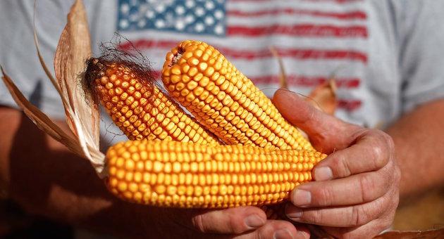 crispr-corn