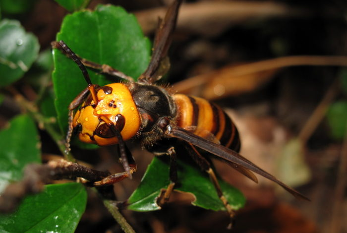 Asian hornet spotted for second time, and the implications are severe