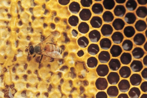 Image: Study: Manuka honey kills more bacteria than all available antibiotics