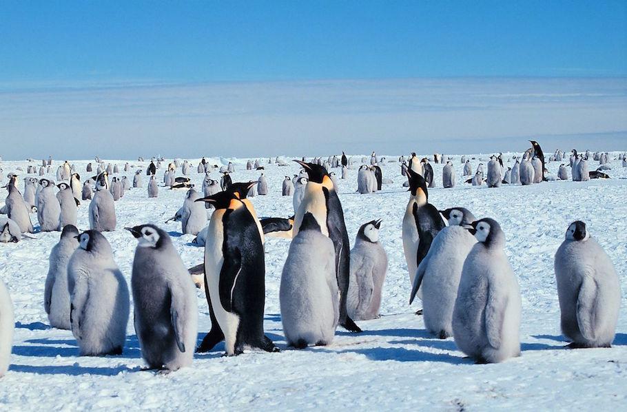 Emperor penguins, by Michael Van Woert, Wikimedia Commons.