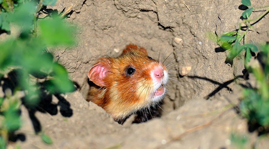 Corn diet is turning French hamsters into erratic cannibals – research