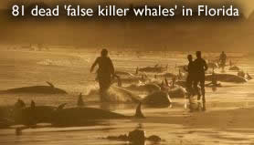 Dead false whales in Florida