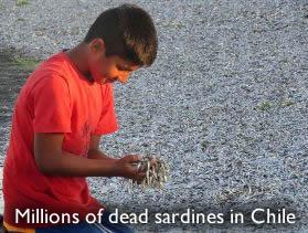 Dead sardines Chile