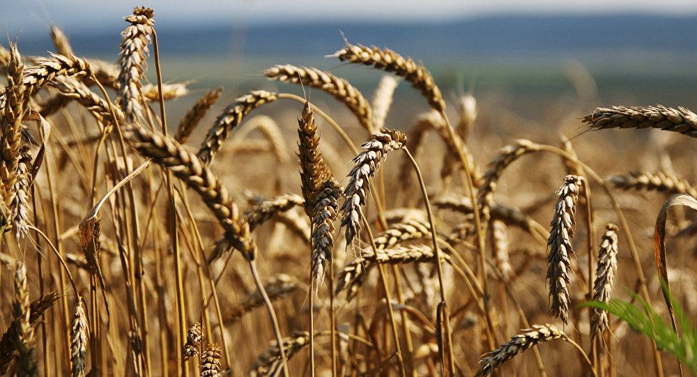 Grain harvesting in Simferopol District, Crimea