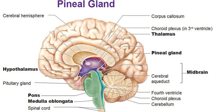 The Pineal Gland is located beneath the cerebral cortex where the two hemispheres of the brain join