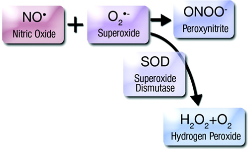 Nitric oxide reacts with superoxide