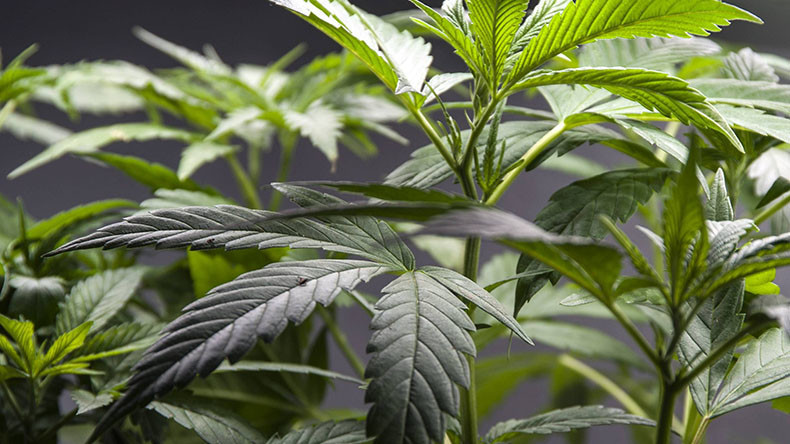 Legalize cannabis now or face mental health crisis, warns drug think-tank