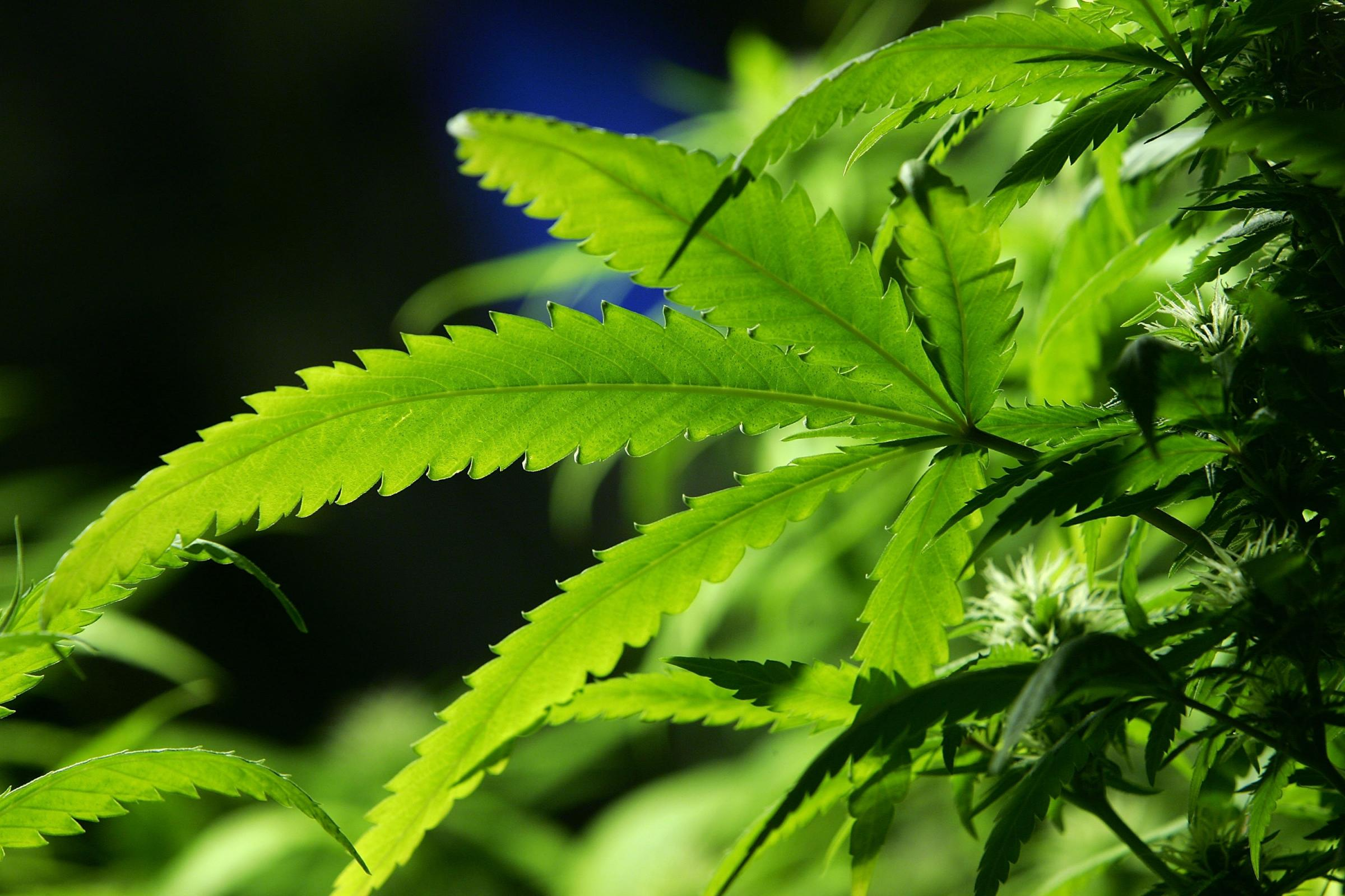 Scotland is set for a multi-million pound boon from the cannabis industry after a worldwide health agency confirmed that the drug provides medicinal relief for a range of ailments.