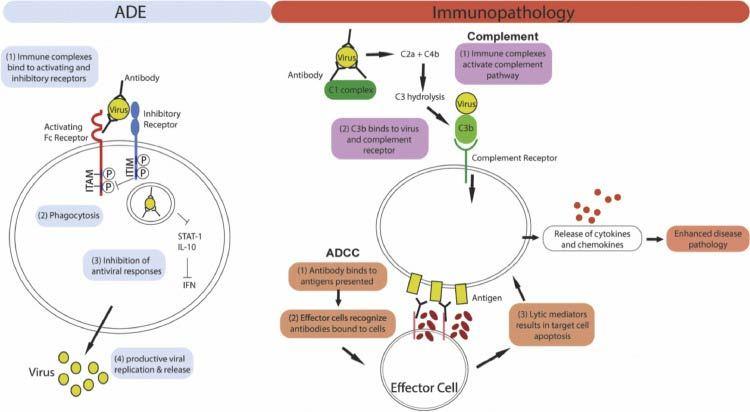 Mechanism of ADE and antibody mediated immunopathology